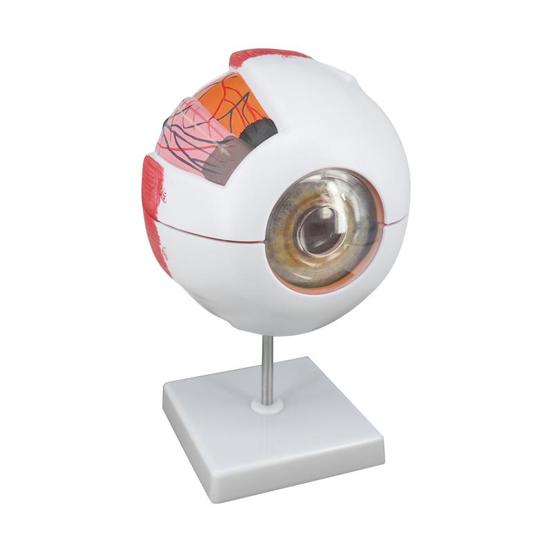 6 Times PVC Plastic Human Anatomical Eye Study Model