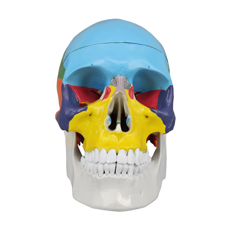 Colored Life-Size Plastic Medical Anatomical Human Skull Model For Sale