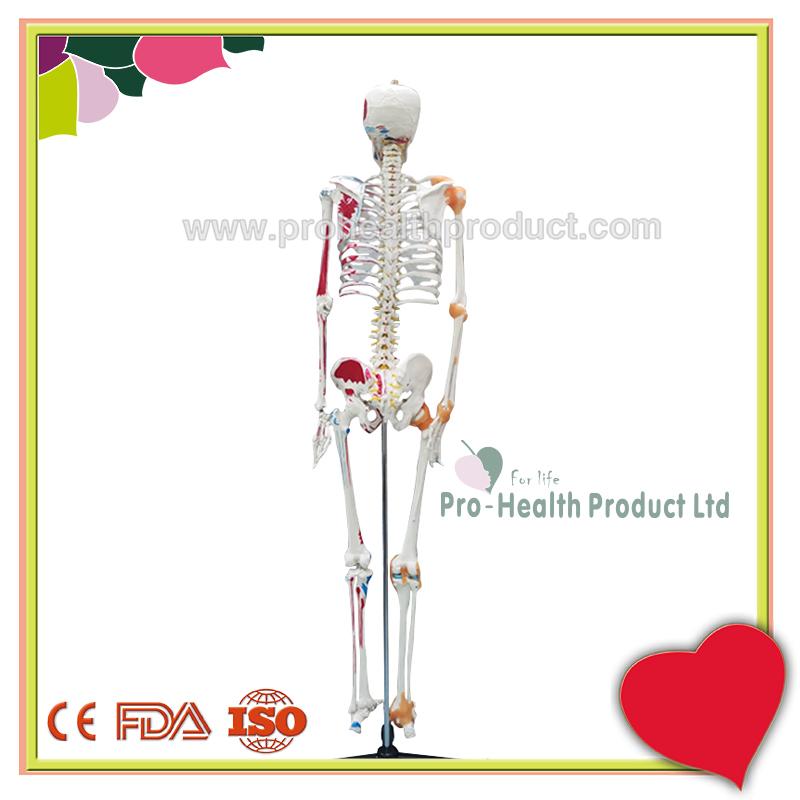 PH03-188-180cm人体骨骼模型(韧带+彩绘)-800x800-logo-3.jpg