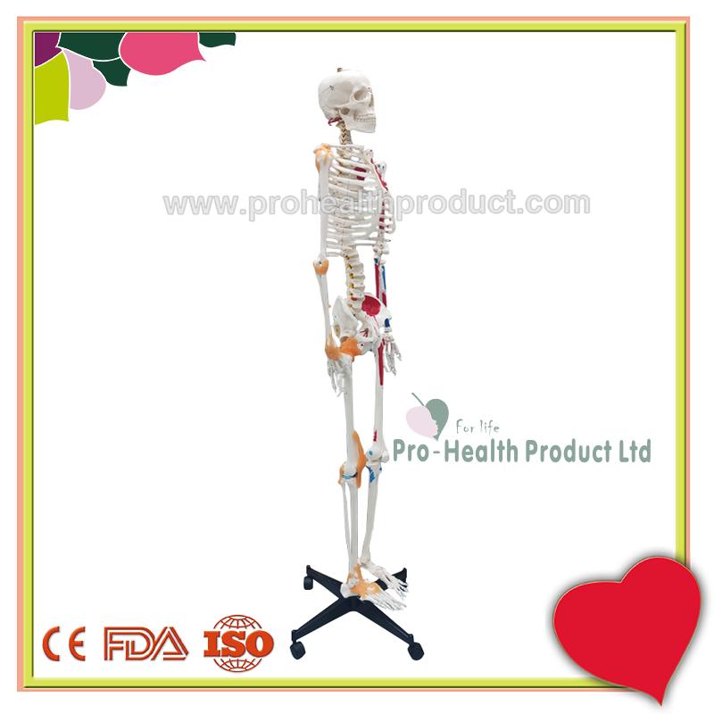 PH03-188-180cm人体骨骼模型(韧带+彩绘)-800x800-logo-2.jpg