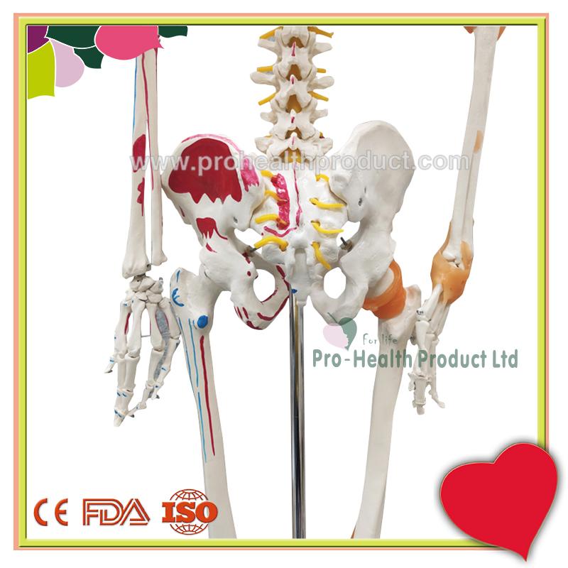 PH03-188-180cm人体骨骼模型(韧带+彩绘)-800x800-logo-6.jpg