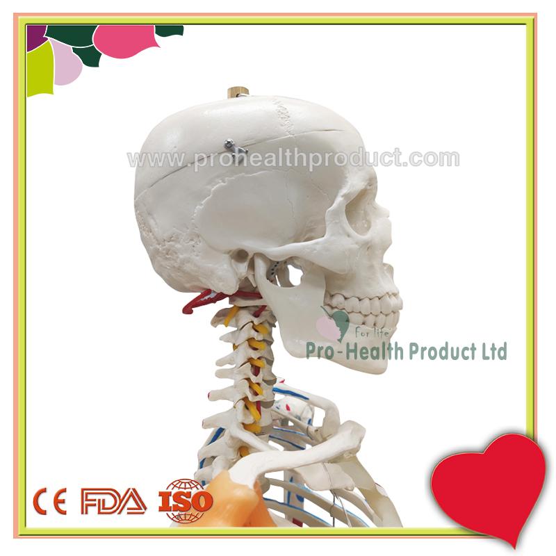 PH03-188-180cm人体骨骼模型(韧带+彩绘)-800x800-logo-4.jpg