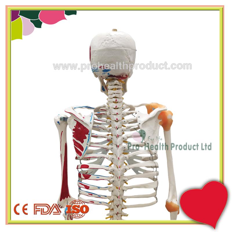 PH03-188-180cm人体骨骼模型(韧带+彩绘)-800x800-logo-5.jpg