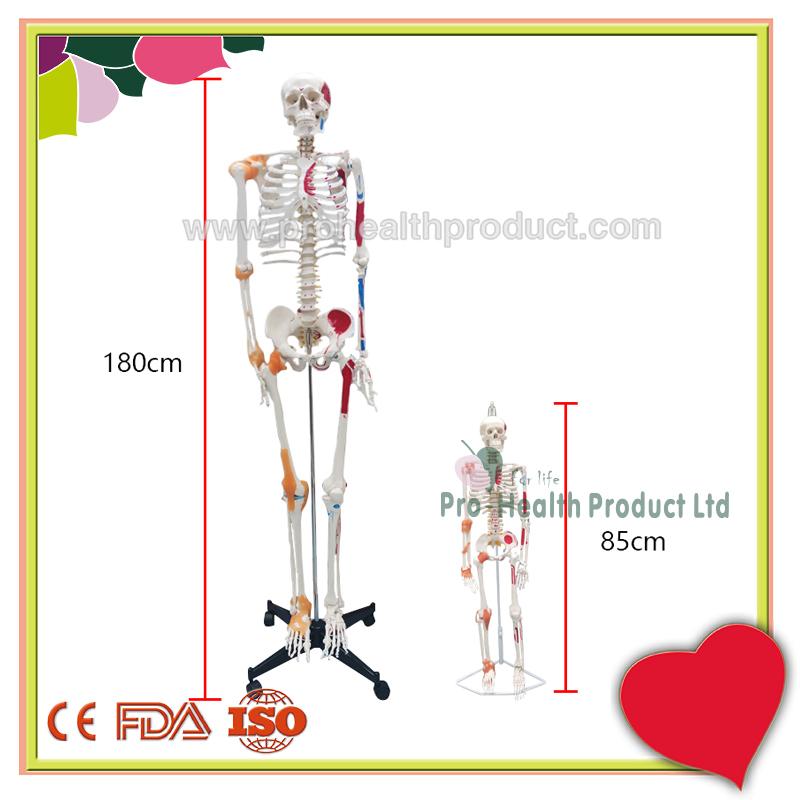 PH03-188-180cm人体骨骼模型(韧带+彩绘)-800x800-logo-7.jpg