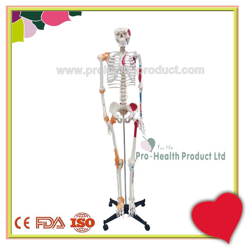 PH03-188-180cm人体骨骼模型(韧带+彩绘)-800x800-logo-1.jpg