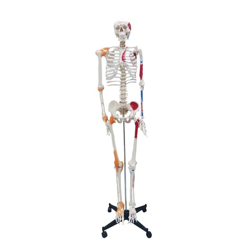 180cm Anatomical Skeleton Model Bendable Bone Model Colored Human Skeleton Model
