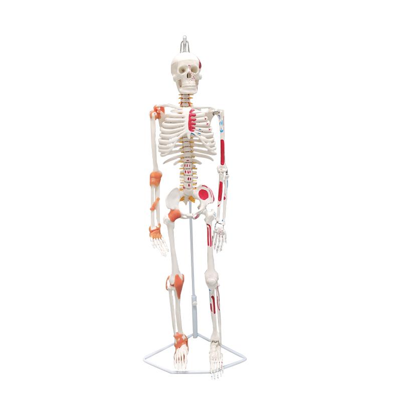 85cm Colored Muscle Nerve Painted Human Skeleton Model Anatomy 85cm Skeleton Model