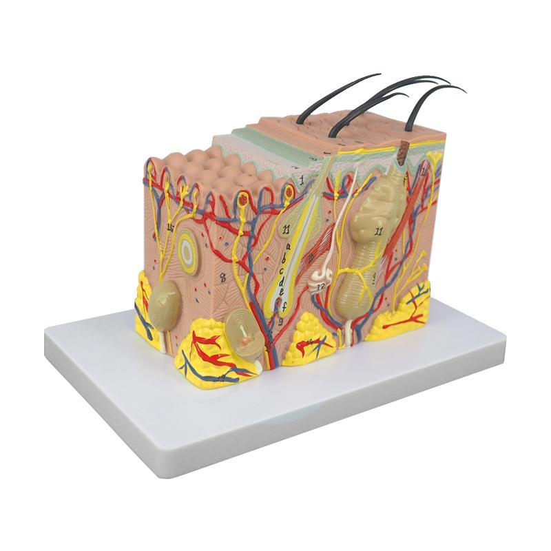 35 Times Human Skin Structure Medical Anatomical Teaching Model